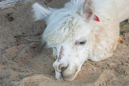 close up white wild alpaca face lying on the ground
