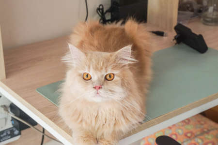 selective focus curious cute Persian cat sit on the table Standard-Bild