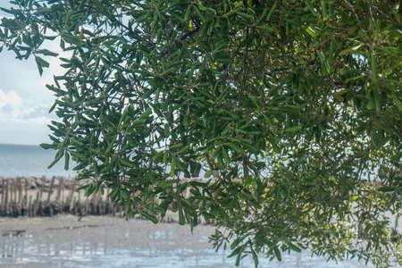 close up silhouette mangrove tree at sea coast