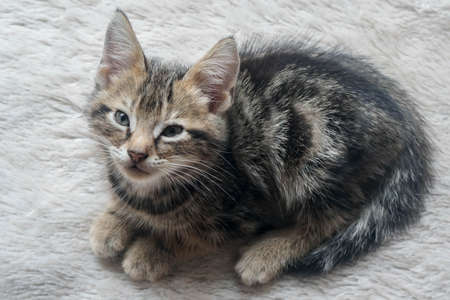 cute young American Shorthair cat in brown tabby color sit on fur floor 版權商用圖片