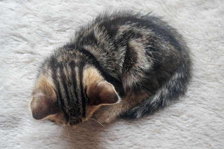 top view cute brown tabby American Shorthair kitten cat sleeping at noon