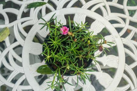 selective focus top view of pink flower blooming in the garden pot 版權商用圖片
