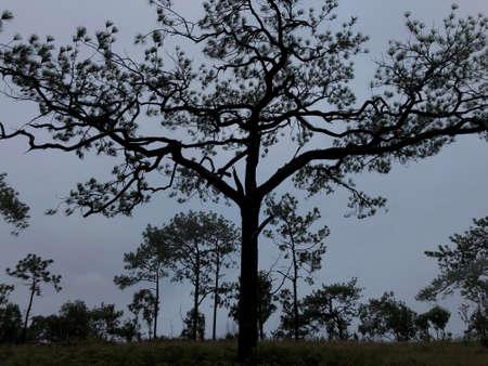 silhouette tall pine trees in deep forest in dusk winter season