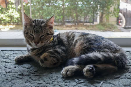 cute young American Shorthair sit and sleep at the house entrance door Stock Photo