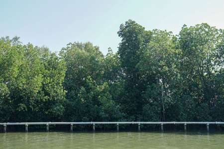 silhouette evergreen trees in mangrove forest with blue sky in summer