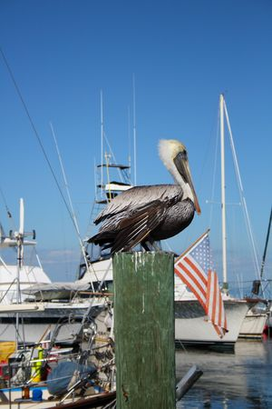 piling: Pelican sitting on a marina piling Stock Photo