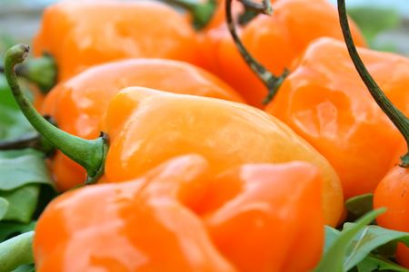 ripe: Ripe habanero hot peppers Stock Photo