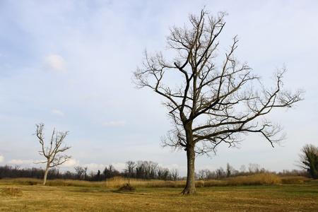Dead trees in winter