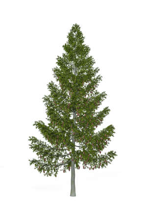 Grand fir isolated on white background - 3d render