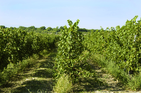 puglia: Italian wine Puglia vineyard