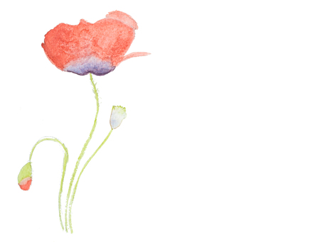 Watercolor hand painted red poppy isolated on white background