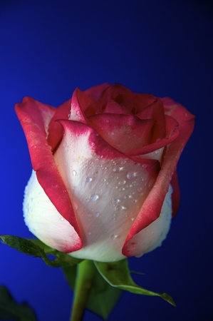 Lovely Rose with dew in blue backround. photo