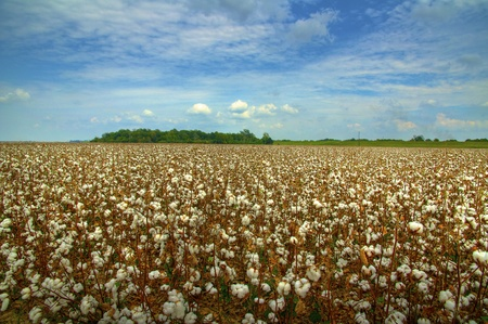 cotton flower: Cotton field ready for harvest