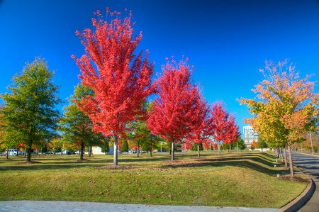 Red Maple trees in Early Fall