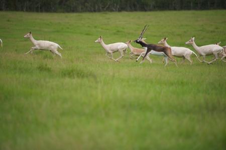 Alpha male Antelope in grassy field