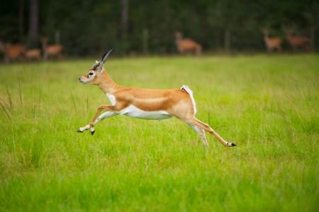 Female African Antelope mid Stride in grassy field