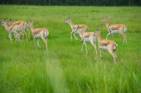 Herd of female African Antelope in grassy field  Stock Photo