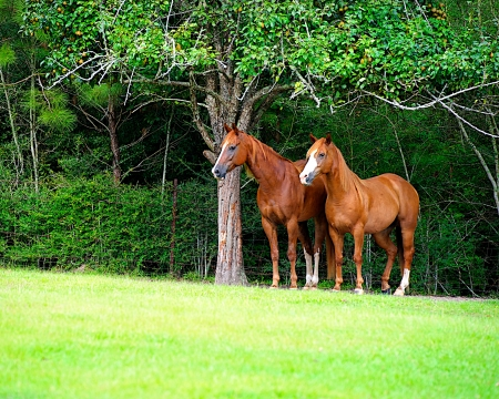Beautiful Thoroughbred Horses grazing in Meadow in early summer,