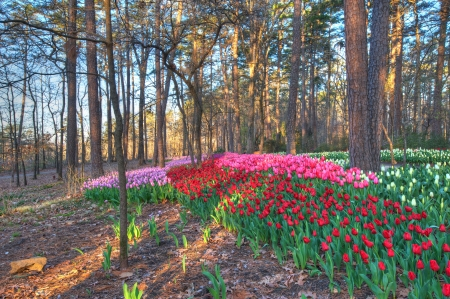 Tulip Extravaganza in early Spring. An Explosion of color. Stock Photo