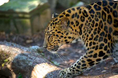 Leopard on a lazy afternoon in New Orleans zoo.  Stock Photo