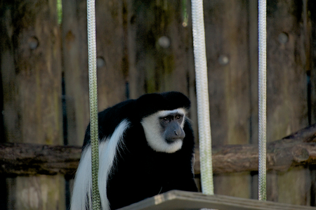 Monkey on swing in New Orleans Zoo. Stock Photo