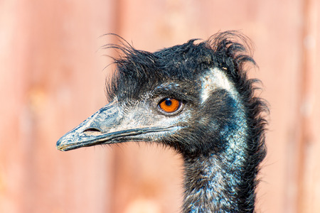 ostrich chick: The head of a Emu Bird look forward Stock Photo