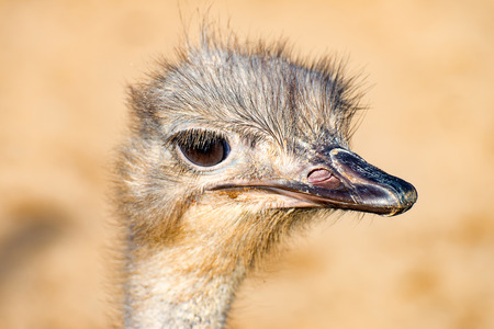 ostrich chick: The head of a Emu Bird look forward 1 Stock Photo