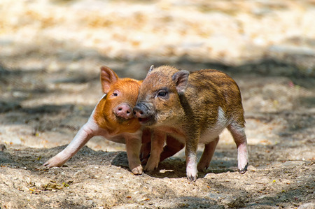Two baby pigs playing togegther in the zoo Stock fotó