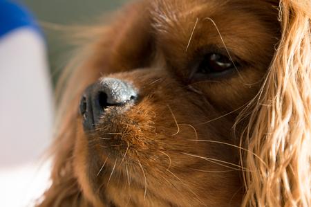 cocker: The Cavalier King Charles Spaniel dog face