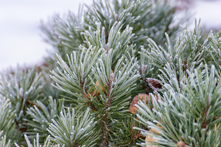 cypress: The branch of a conifer in the winter