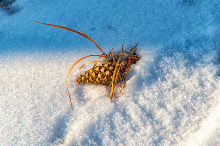 The small pine cones in winter in the snow Stock Photo