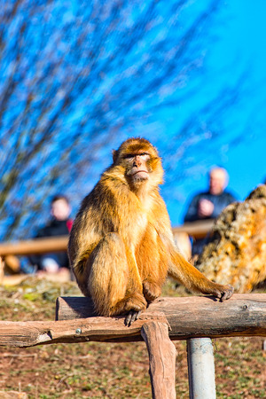 barbary ape: The great Barbary Macaque all alone on the road I