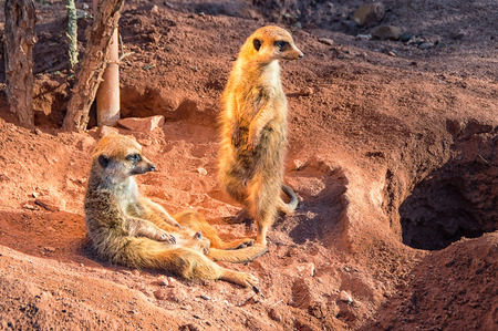 The two little meerkats stand guard in the desert