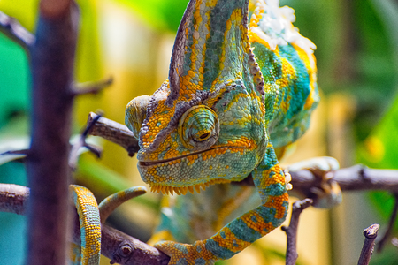 The colorful Chameleon runs slowly on a branch III Stock Photo