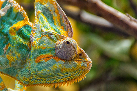 chamaeleo: The colorful Chameleon sitting on a branch