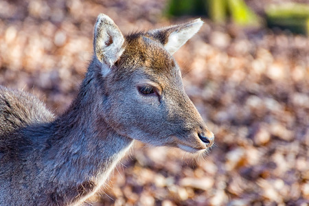The small deer is hungry and alone in the forest Stock Photo