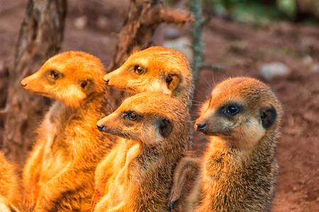 The Group Meerkat is basking in the warm afternoon sun I