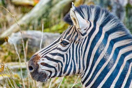 The head of an adult Zebra in his enclosure I Stock Photo