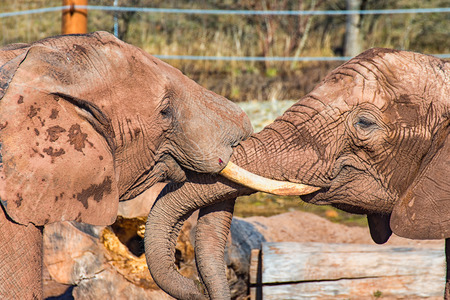 Two elephants fight until one of them is bleeding Stock Photo