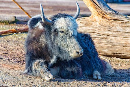 The yak is located in the Sun and enjoy the peace and quiet