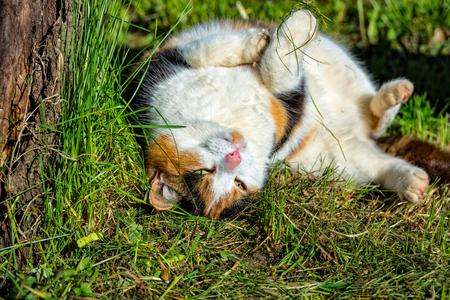 A Threechromatic luck cat roams through the meadow