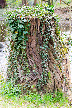 rubbery: A Tree stump covered with ivy in thuringia