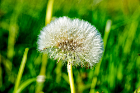A Puff flower on a little gree meadow in the summer Stock Photo