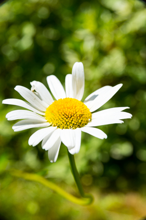 A Single flowers of one marguerites bush in the garden Stock Photo