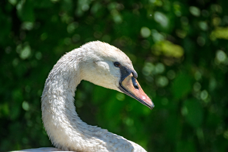 whooping: A portrait of a white swan at a lake at the village