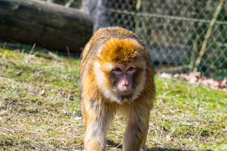 barbary: The Berber monkey looking at the meadow for his little baby monkey
