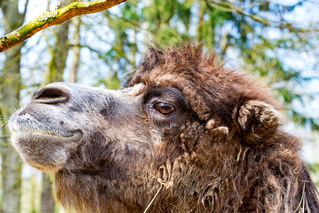The Camel in profile with slightly open mouth