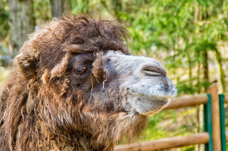 The Portrait of a camel in the zoo