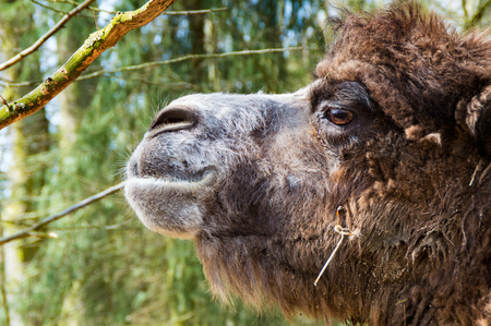 camel desert: The Portrait of a camel in the zoo