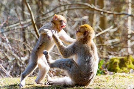Two Little Berber monkeys fight together in the zoo Stock Photo